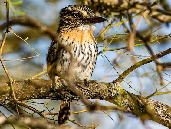 Galería Birding Arg. Córdoba and Pampas 565x424