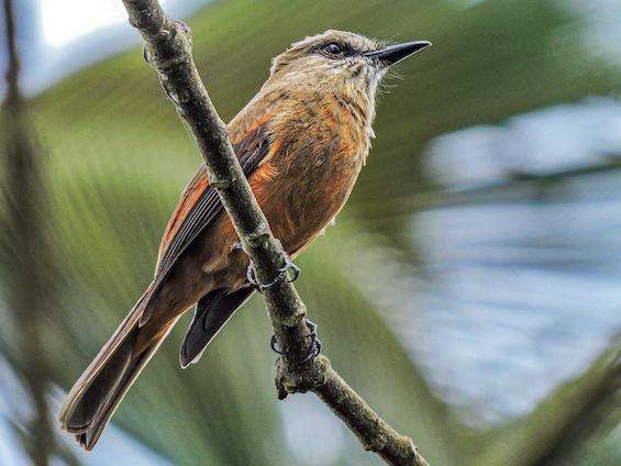 Galería Birding Colombia Andes to Santa Marta 565x424