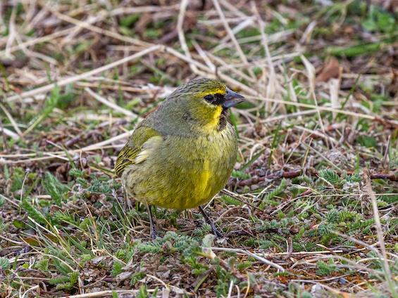 Galería Birding SW Patagonia and TdF 565x424