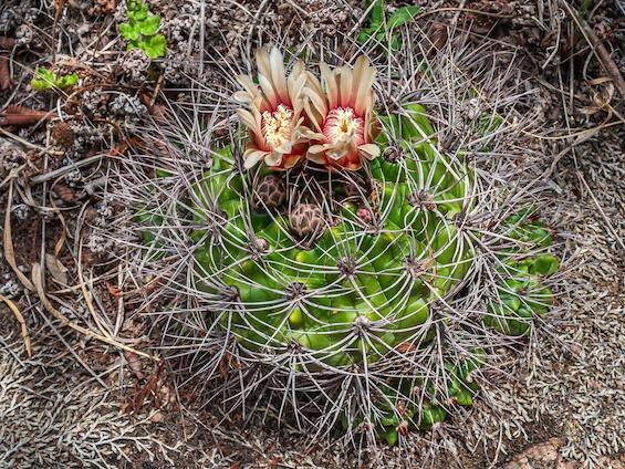 Galería Cacti of Northwestern Argentina 565x424