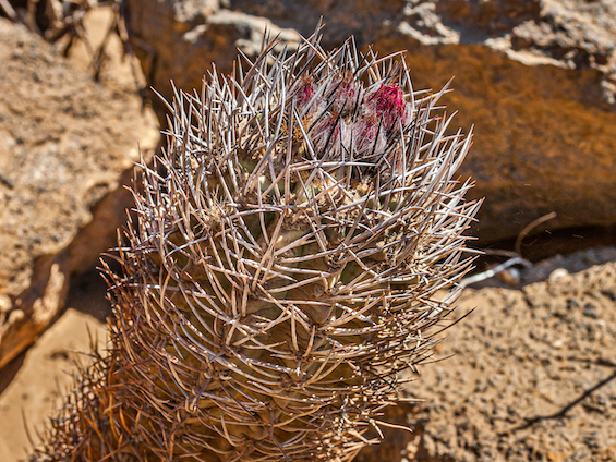 Galería Cacti of Chile 565x424